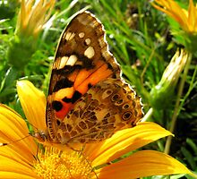 Painted Lady on Gazania by Detlef Becher