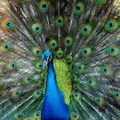 Peacock by capizzi
