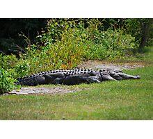 One Serious Alligator Photographic Print