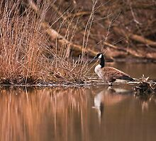 Canada Goose in Marsh by (Tallow) Dave  Van de Laar