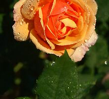 Carrot Top Rose by Kenric A. Prescott