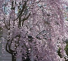 The Weeping Cherry Tree..... by Ruth Lambert