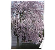 The Weeping Cherry Tree..... Poster