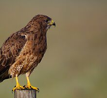 Hawk 1 by KS-Photography