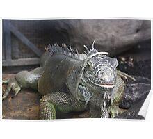 I'm Watching You! - An Iguana Poster