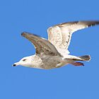 Gull in Flight over the Gulf of Texas Mustange Island Spring Break 2010 by kellimays