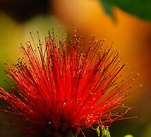 MIMOSA, RED, Backlight by kellimays