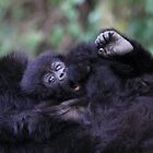 Baby Mountain Gorilla, Kwitonda Group, Rwanda, East Africa by Carole-Anne