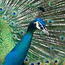 Pretty Peacock by Gethin