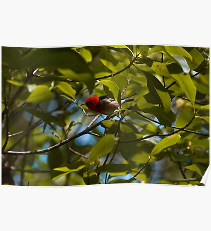 Scarlet Honeyeater Poster
