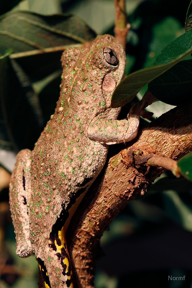 Emerald Spotted Tree Frog - Litoria peronii by Normf