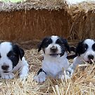 Litter of puppies by Julie Sleeman