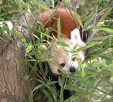 Red Panda having a Bamboo Snack,Canberra Zoo. by kaysharp