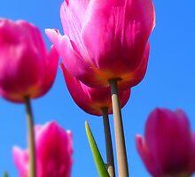 Vibrant Crimson Tulips by Eugenio