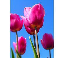Vibrant Crimson Tulips Photographic Print