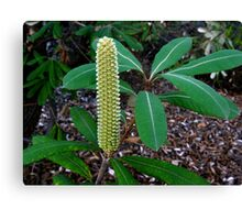 Banksia Candle Canvas Print