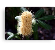 Banksia Candle 2 Canvas Print