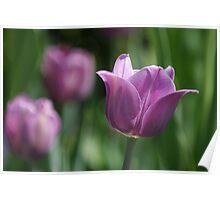 Purple Tulips Poster
