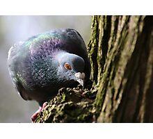 'Wood' Pidgeon Photographic Print