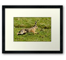 March Hare (Lepus europaeus) Framed Print