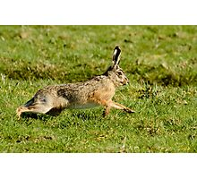 March Hare (Lepus europaeus) Photographic Print