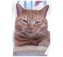 Ginger cat portrait Poster