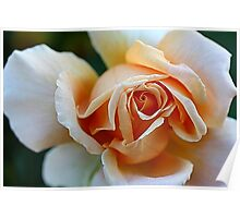 An Apricot Rose Poster