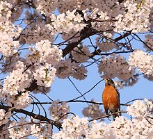 Robin amidst the cherry blossoms by John Wright