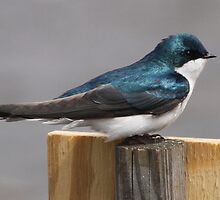 Tree Swallow by Dennis Cheeseman