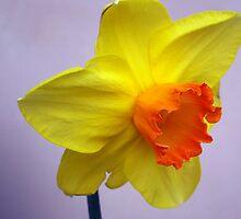 Bright daffodil by daffodil
