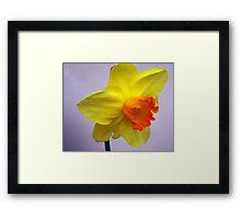 Bright daffodil Framed Print