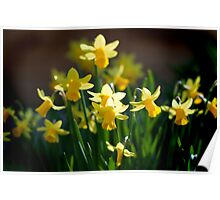 Spring Narcissus Poster