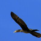 Double-crested Cormorant by Kimberly Chadwick
