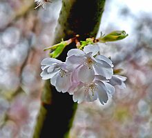 The Last of the Cherry Blossoms by Louise Fahy
