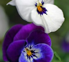 Violas by Martina Fagan