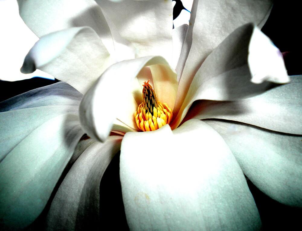 Magnolia by Josephine Pugh