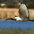 Sacred Ibis by Selsong