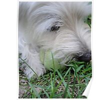 Westie with Ball Poster