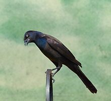 portrait of a grackle by KathleenRinker