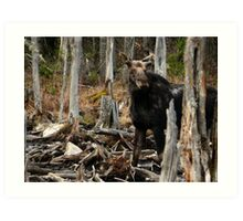 Bull Moose In Spring - Maine Art Print