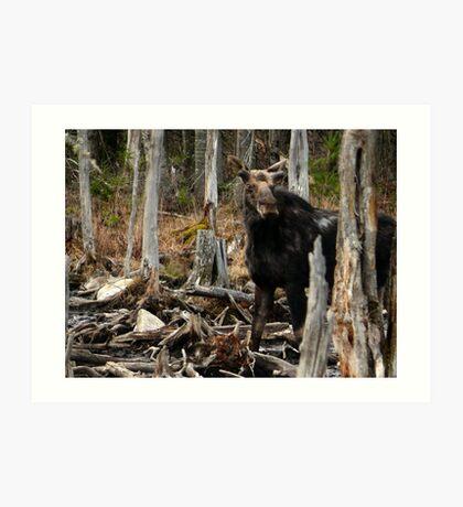 Bull Moose In Spring - Maine Art Print