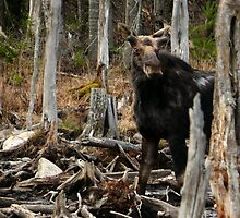Bull Moose In Spring - Maine by mooselandtours