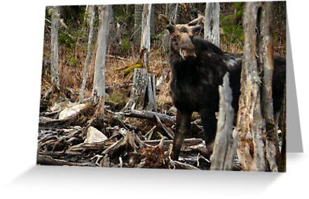 Bull Moose In Spring - Maine by mooselandtours