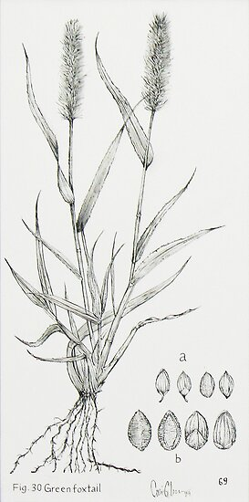 Fig. 30. Green Foxtail by Carrie Jackson