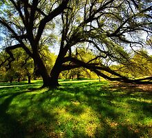 Bright Sun, Shadows, Giant Oaks by photosan