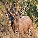 Male Nyala by Michael  Moss