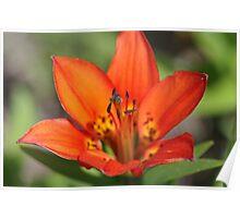 Wood Lily, Jasper National Park, Alberta, Canada Poster