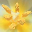 Macro Tulip by RockyWalley