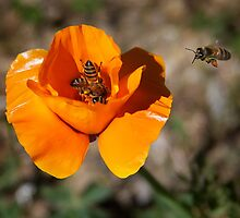 How Many Bees Can You Get Into One Poppy? by CarolM