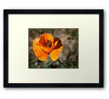 How Many Bees Can You Get Into One Poppy? Framed Print